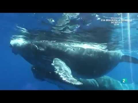 Grandes documentales - En la zona de alimentacion de las ballenas jorobadas