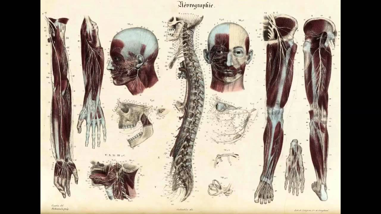 Anatomical chart - YouTube