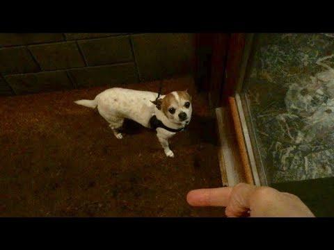 Chihuahua scared of rain