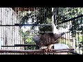 Dengan Masteran Perkutut Lokal Alam Ini Alamat Semua Kutut Akan Nyaut Ngalas(.mp3 .mp4) Mp3 - Mp4 Download