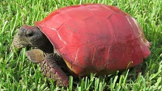 Download Someone Thought It Was Funny To Paint This Tortoise's Shell Red