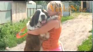 Продаются щенки Московской сторожевой в Алматы