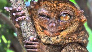 True Facts About The Tarsier thumbnail