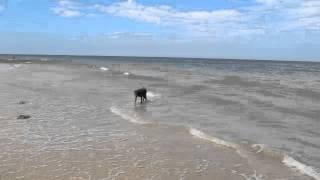 Norfolk - Dogs Having Fun On The Beach