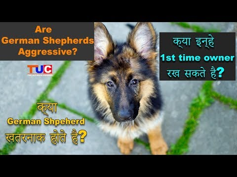 Are German Shepherds Aggressive?  Are They Good For 1st Time Owners? : TUC
