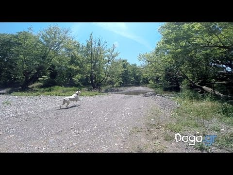 Dotie the Dogo Argentino playing on Kireas river side