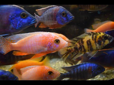 Polishing Aquarium Water With Oxygen - 50+ Peacock Cichlid Aquarium! -