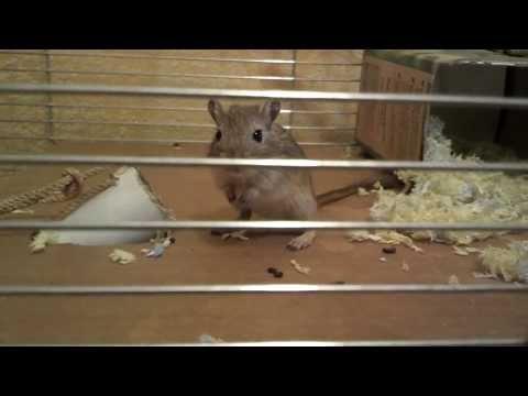 фото мыши песчанки