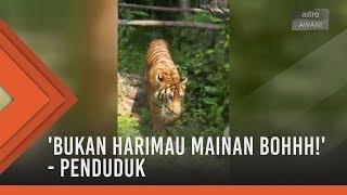 Gempar! Sepasang harimau berkeliaran kejar penduduk