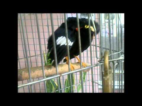 Amazing talking Japanese birds