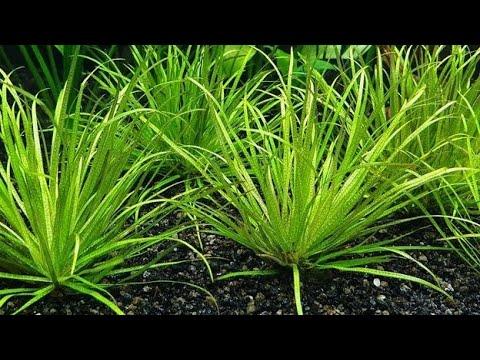 Ficha de Plantas: (blyxa Japonica/Hierba Japonesa).
