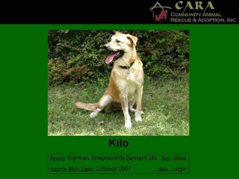 Adopt Kilo from CARA - German Shepherd/St Bernard mix
