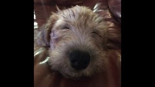 This is a video of my dog Gillie the Soft-Coated Wheaten Terrier pl...
