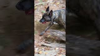 Dutch Shepherd Enjoying waterfall at Cascade Nature preserve.