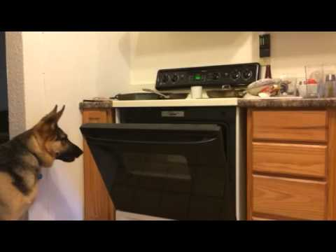 Rocky the German Shepherd Steals Pizza Out of the Oven