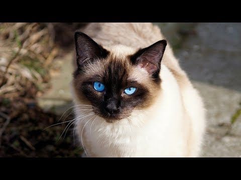 How to Decide if a Siamese Cat Is Right for You - Learning About the Breed