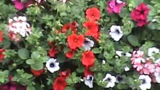 Hanging Baskets Flowers And Window Boxes Ireland