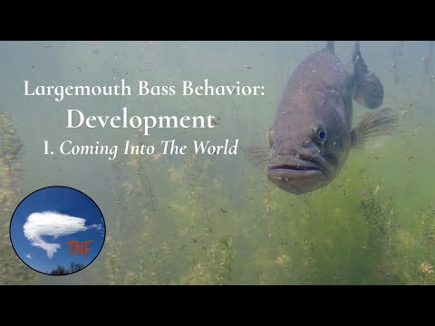 Largemouth Bass Behavior: After The Spawn: Development 1: Coming Into The World