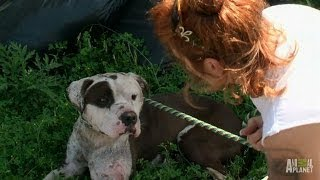 Rescuing a Dog with Deep, Infected Wounds | Pit Bulls and Parolees