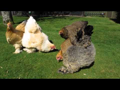 My Lovely Brahma Hens Eating A Muffin