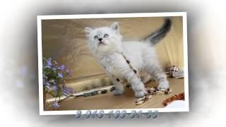 Жемчуг Невы. НЕВСКАЯ МАСКАРАДНАЯ прелесть))) Маленькие котята ждут Вас.