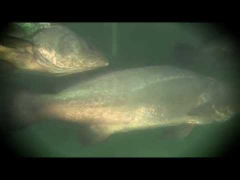 La Totoaba, Gigante del Alto Golfo de California
