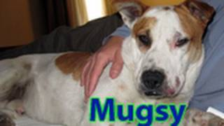 Dog Rescue: Mugsy, The American Bulldog Looking For A Home.