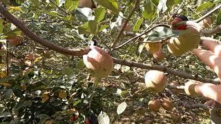 사과나무인산칼슘살포 규산살포 사과색깔