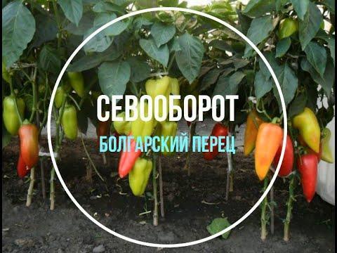 Севооборот:  после чего сажать болгарский перец?