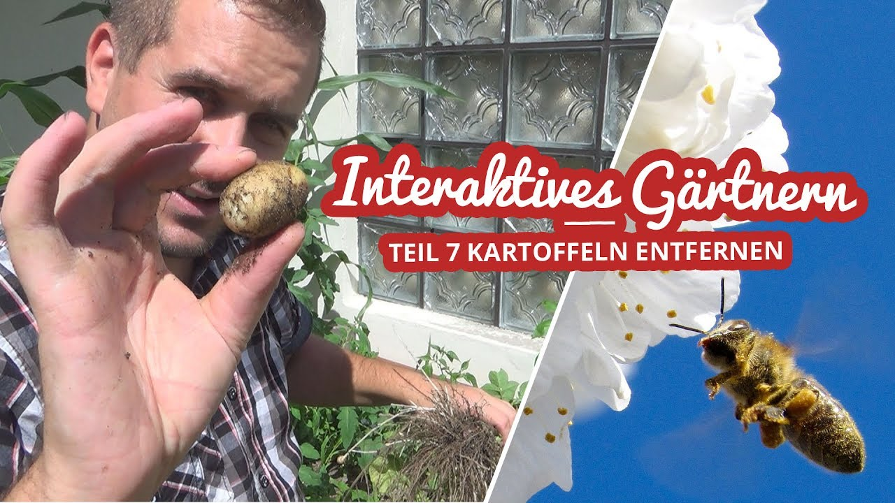 Interaktives Gärtnern Teil 7 | Kartoffeln entfernen Artikelbild