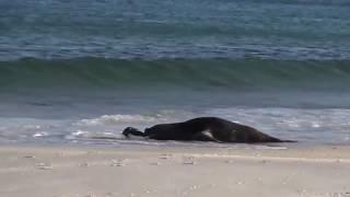 Морской лев поймал пингвина ИНТЕРЕСНОЕ ВИДЕО