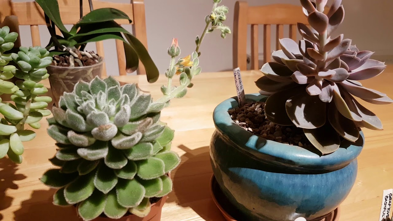 My Echeveria Plants Care And Cultivation Youtube