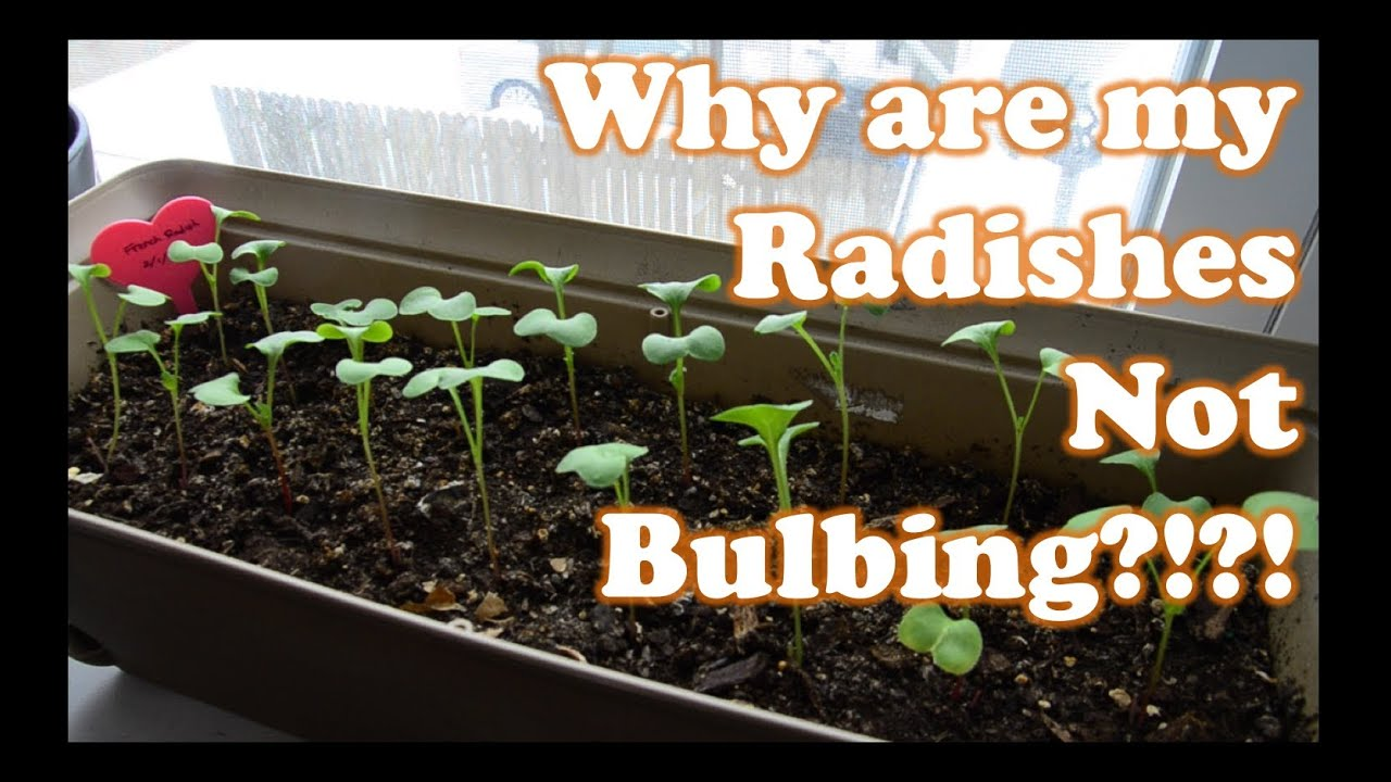 Growing Radishes Indoors In Containers Part 2
