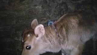 Cow Gave Birth To Twins Calf Together..Lagan