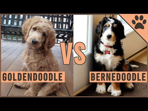 Goldendoodle vs Bernedoodle  Which Dog Is Better?