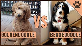 Goldendoodle vs Bernedoodle  Which Dog Is Better?