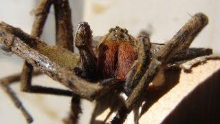 Aranha mais venenosa do mundo - Aranha armadeira se esconde no bercinho da boneca - HD