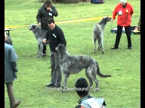 Deerhound Dog Final Video Breedshow 2008