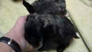 Shih Poo Puppies (shih Tzu Poodle Cross)