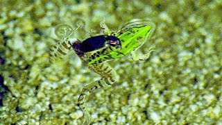 Underwater war of epomis beetle and frog.