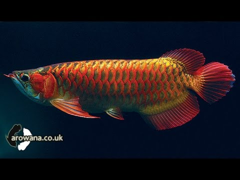 The most expensive aquarium fish in the world youtube for Most expensive saltwater fish