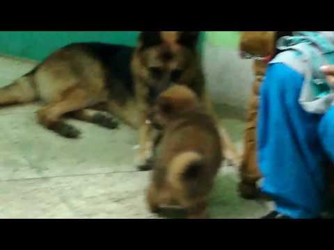 German Shepherd Dog @ Pet Doctor in Bangladesh @ Dr. Sagir's Pet Clinic 01912251312