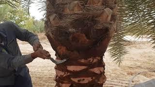 Gambar cover الكشف عن حفارات جذع النخيل