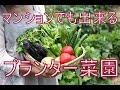 【自給自足】マンションでも出来る簡単家庭菜園に挑戦してみた【夏野菜】