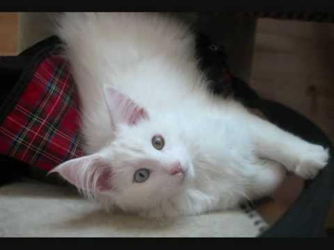 BORKA - My Norwegian Forest Cat!