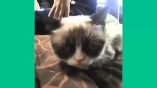 Кошачьи победы.Лучшие кошачьи соревнования