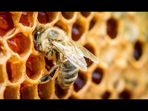 Вопрос: Зачем пчёлам нужен мёд?