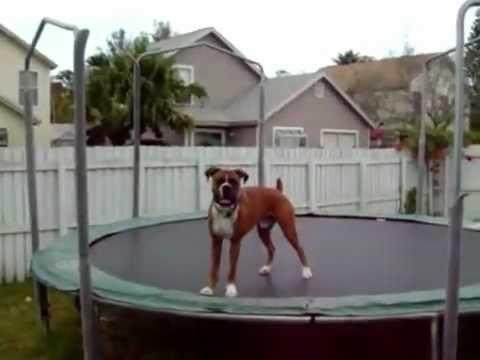 Trampoline Dog BOXER