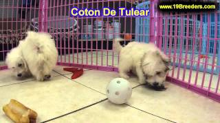 Coton De Tlear, Puppies, For, Sale, In, Cincinnati, Ohio, Oh, Westerville, Huber Heights, Lima, Lanc