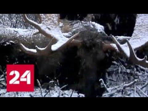 Вопрос: Зачем чиновники занимаются браконьерством Им нечего есть?